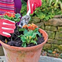 Planting Spring Flowers in Terracotta Pot
